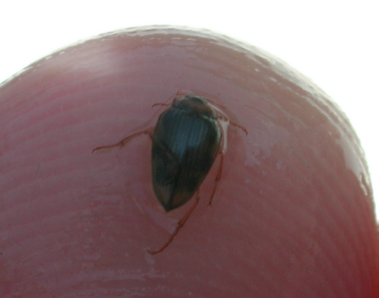 The Hungerford's crawling water beetle is only about the size of a ladybug.