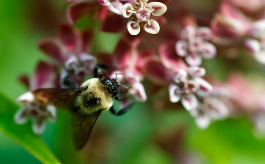 In this June 5, 2019, photo, a bee pollinates a milkweed flower at the USGS Patuxent Wildlife Research Center in Laurel, Md. The Environmental Protection Agency will allow farmers to resume broad use of a pesticide over objections from beekeepers.