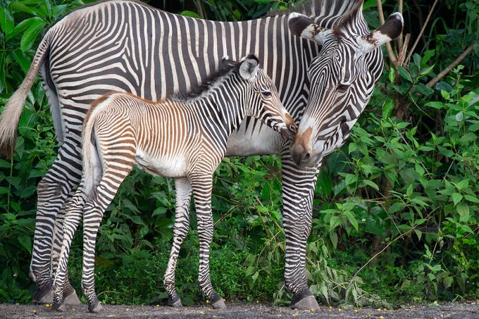 In this undated photo provided by Zoo Miami, a baby Grevy's zebra nuzzles up to an adult at Zoo Miami in Miami. The zoo announced on Facebook that six babies were born within a seven-day period to six different mothers. All of the new additions are female.