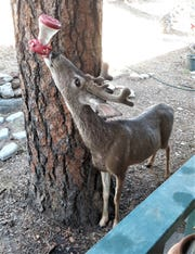 A mule deer helps himself to the sweet juice from a hummingbird feeder in Ruidoso.
