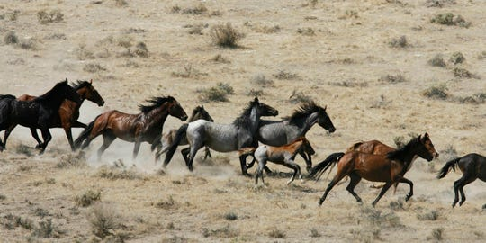 This July 25, 2007 file photo, shows wild horses being herded by the Bureau of Land Management in a field, at the Black Mountain and Hardtrigger Herd Management Areas in the Owyhee Mountains southeast of Marsing, Idaho.
