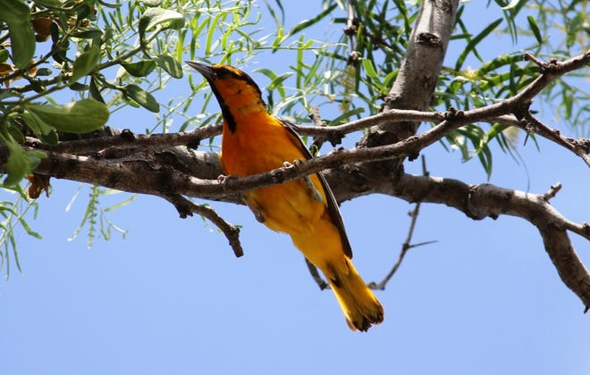 The Bullock's Oriole (Icterus bullockii) is one of seven species of orioles that call Texas home.
