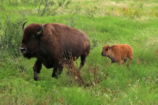 A young bison follows a mature adult during feeding time at San Angelo State Park on Thursday.