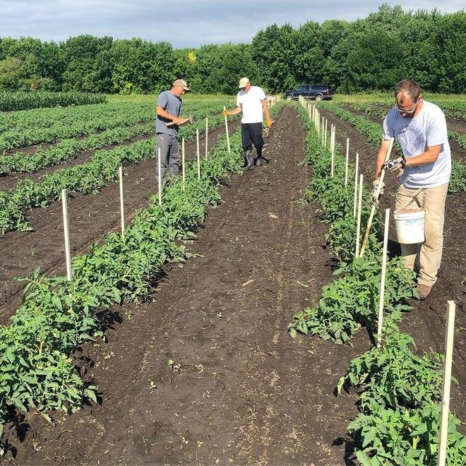Workers at Cherry Rock Farms in Brandon weave tomatoes in an effort to save the yield due to the wet grounds.