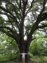 Mr. Benton's Oak is shown with Jonathan Lammers in front of it to show the size of the tree.