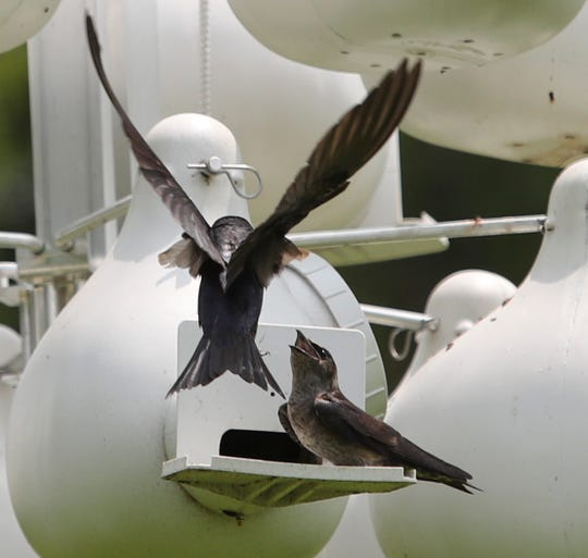 A pair of purple martins outside one of the two dozen nests set up to support a colony at Bellevue State Park.