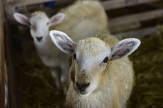 A pair of lambs get used to their new pen at the Crawford County Fair.