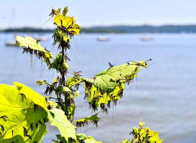 Mayflies along the Susqhehanna River in Wrightsville, Saturday, July 13, 2019. Dawn J. Sagert photo