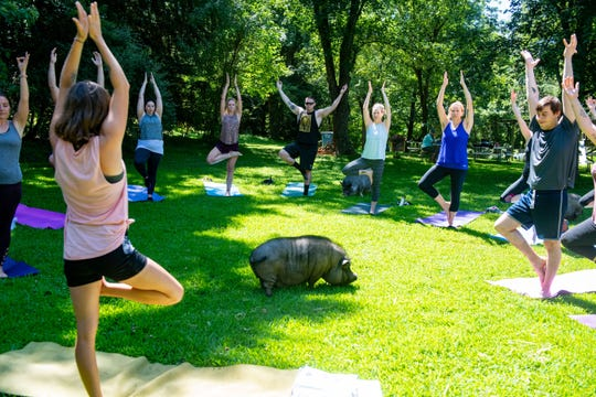 The pigs are the stars at Yoga with Pigs class held at Whispering Rise Farm and Animal Sanctuary in northern Maryland.