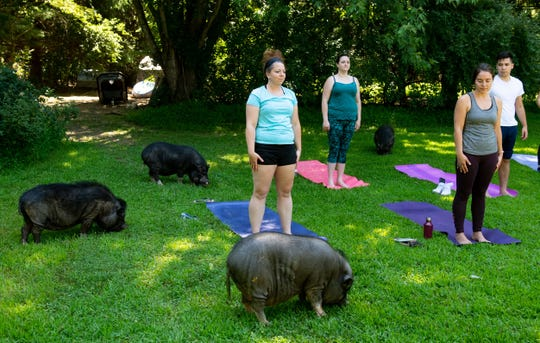 Yoga with Pigs happens on a monthly basis over the summer. Most classes end up selling out.