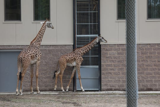 A couple of the Masai Giraffes at the Seneca Park Zoo hang around their pen.