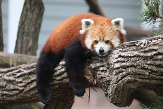Blaze, the Red Panda, rests on a tree branch.