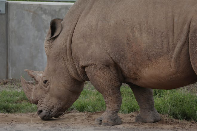Bill the Rhino is now located in the Step into Africa area of the Seneca Park Zoo.