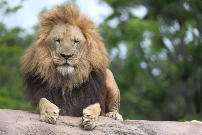 Chester lays on top of the rocks in the lion exhibit at Seneca Park Zoo.