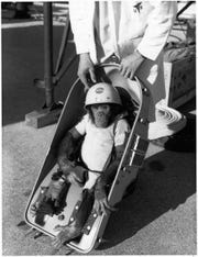 Here, the 37-lb. primate, Ham, is fitted into his special capsule prior to flight on January 31, 1961. He did not wear the helmet on the flight. Image Courtesy: NASA, and in the Museum Archive's Herbert Stephen Desind Collection