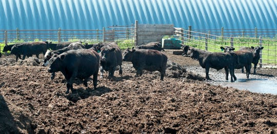 This photo taken July 2, 2019, shows cattle owned by Lannie Mielke wading through mud and manure in the feedlot on his farm in Aberdeen, S.D. Mielke and other area farmers around Aberdeen are having problems with planting and day to day operations due to wet ground caused by spring runoff and rainfall, Mielke said the feedlot looks more like April instead of July due to nearly six inches of rain that fell at the end of June.