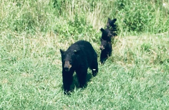 A mama black bear began leading her three cubs across Cades Cove Loop Road before lunging at a man who repeatedly approached the family.