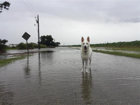 Saige the dog roams through water over Isadore Road in Erath Sunday morning.