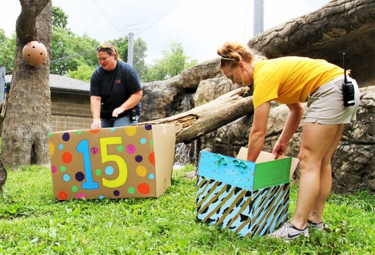 Missouri Habitat Keepers Bethany Gates, left, and Madison Hall place enrichment treats for a mountain lion's birthday Sunday, July 14, 2019, at Dickerson Park Zoo.