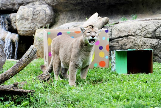 Aidan, a mountain lion, celebrates his 15th birthday Sunday, July 14, 2019, at Dickerson Park Zoo.