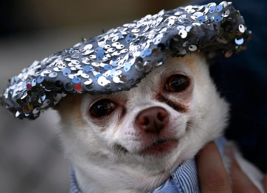 Nikki, an 8-year-old chihuahua, is held by Haley Eason during the dog costume contest Thursday.