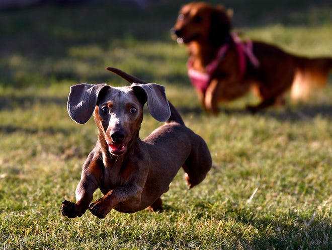 Dachshunds sprint down the course to the other end Thursday, though some didn't always make it. Some would get distracted, others stopped short of the finish line, looking perplexedly at their owners who were trying to coax them across to win. The annual Dachshund Races and Rescued Dog Reunion was held at Nelson Park's Festival Gardens and was sponsored by Rescue the Animals, SPCA