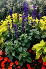 Big Blue salvia will reach 36 inches tall.