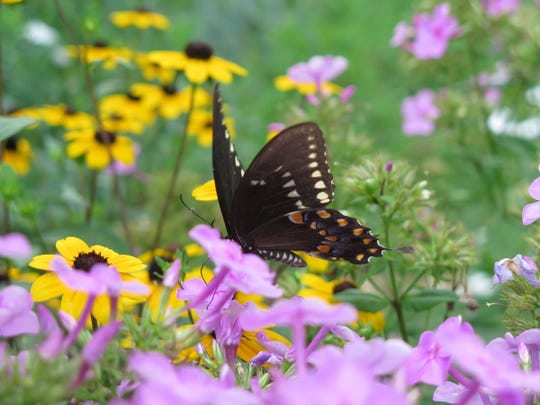 A spicebush swallowtail butterfly feels right at home amid black-eyed Susans and bright pink phlox. Flowers with different colors, shapes and bloom times will encourage a diverse population of butterflies and other pollinators.