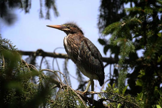 One of four fuzzy-headed green heron fledglings, not yet able to fly, hops from branch to branch, in a little grove of evergreens.