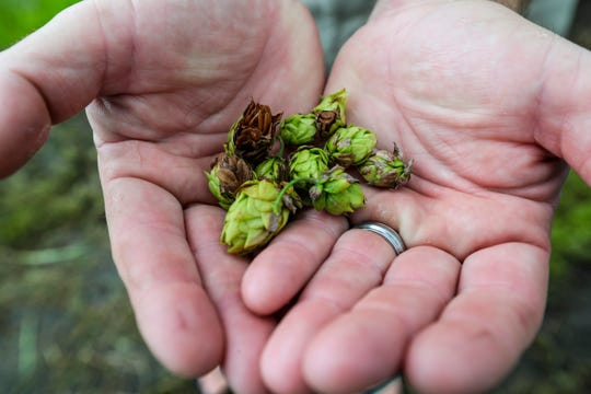 A handful of late-season hops from the new Crazy Dingo Brewing at Southern Fresh Farms in south Fort Myers.