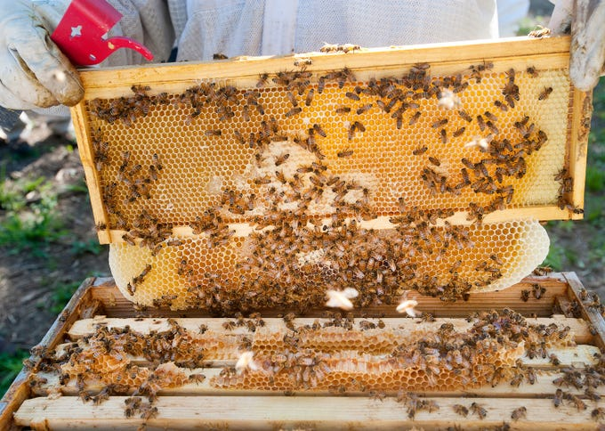 Bees are busy at work in a hive as a honey filled frame was removed at HoneyBear Farms during a beekeeping class.13 July 2019