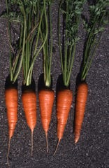 For perfectly straight-shaped carrots, grow them in a raised bed. The soil is loose and totally free of obstacles, such as stones and hard clay.