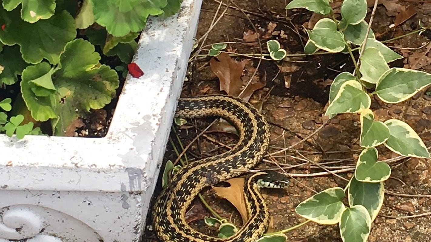 Hate snakes? Wet weather has them slithering into Memphis area backyards, expert says