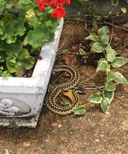 Germantown resident Ann Tutwiler Dwyer recently spotted a snake near her home and posted a picture to Facebook to see if anyone could help her identify it.