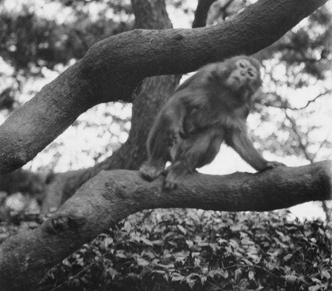 No one would like to be taunted by a monkey just out of reach in a tree! Richmond residents were for almost a week in 1937 when a Hagenbeck-Wallace Circus monkey went on the lam, making a monkey out of everyone!