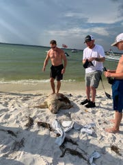 A loggerhead sea turtle washed up dead in front of Boardwalk Condominiums on Fort Pickens Road last Monday. Escambia County Marine Resources removed the turtle Tuesday.