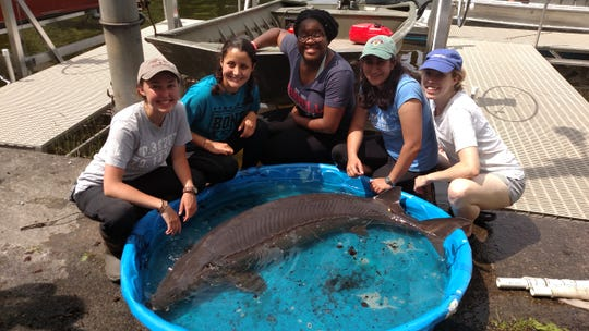 Fishery researchers are working under a DEC-funded contract at Cornell University's Biological Field Station to restock the lake with sturgeon. They recently found a 139-pound one in Oneida Lake.