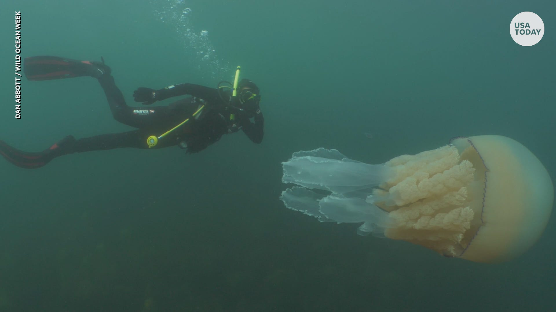 Diver with super-size jellyfish