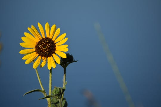 The fuzzy brown center and the classic yellow petals of a sunflower are actually 1,000-2,000 individual flowers, held together on a single stalk.