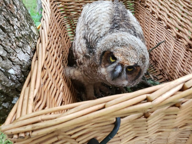 Picture of owl in substitute nest