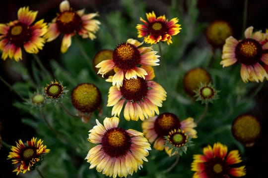 Blanket Flower plants in bloom at the Scott Sunken Garden on Monday, July 15, 2019, in Lansing.