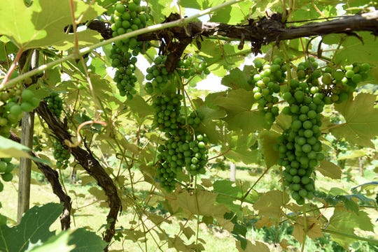 Niagara grapes grow on the vine at Three Oaks Vineyard in Granville.