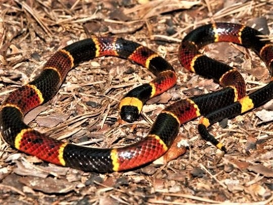 Coral snakes are small, vibrantly colored, highly venomous snakes.