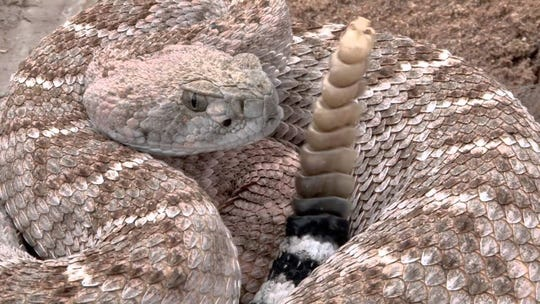 Western diamondback rattlesnake shows off the reason for his name.