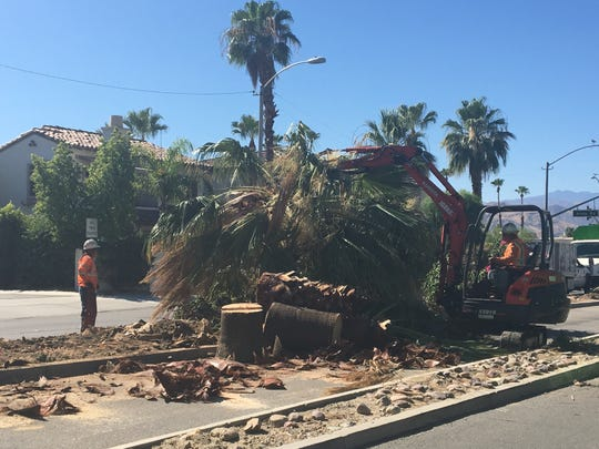 Work has begun on Indian Canyon Drive between Granvia Valmonte and Alejo Road. Palm trees are being cut down in the median to allow for two-way traffic.