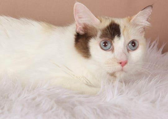 Flora is available for adoption at 952 W. Melody Ave. in Gilbert. For more information, call 480-497-8296 or e-mail FFLcats@azfriends.org.