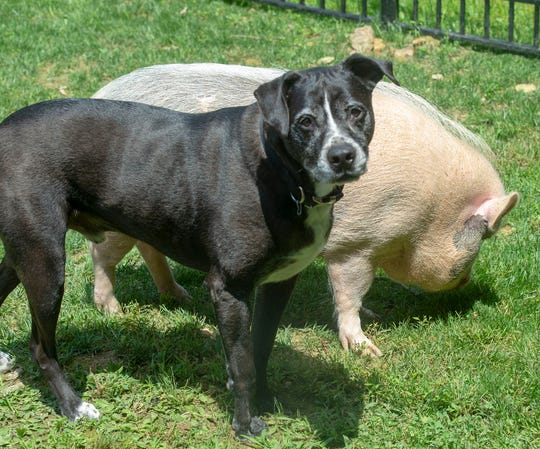 Jackson stands taller than his potbellied pig brother Kevin.