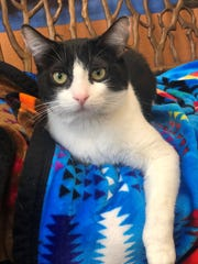 Hi, I'm Angel. I'm one year old and a bundle of energy. Give me a toy and I'll entertain myself for hours. I also get along great with other cats – and probably dogs, too! I love to play and explore, but I also enjoy snuggling up to humans for some quality ear scratches. I overheard someone at the SPCA of Northern Nevada say I'm the funniest cat at the adoption center. I'm not sure why. What's so funny about lying on my back with my feet in the air? If you need a smile, I'll be sure to put one on your face. I'm available at the SPCA of Northern Nevada, which is open daily from 11 a.m. to 6:30 p.m., or you can call us at 775-324-7773.