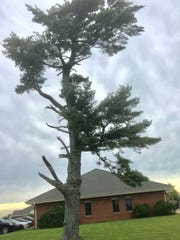 Answer Man: Did Lester E. Cox and Henry Ford II plant this pine tree in Republic decades ago?