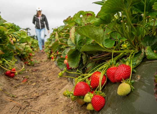 UC Davis Royal Royce strawberries grow recently at a Salinas test field of the university. The university has developed five new strawberry varieties.